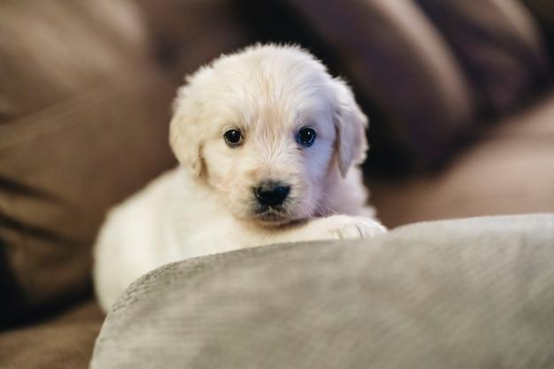 Bellissimo cucciolo di razza golden retriever sul divano di casa