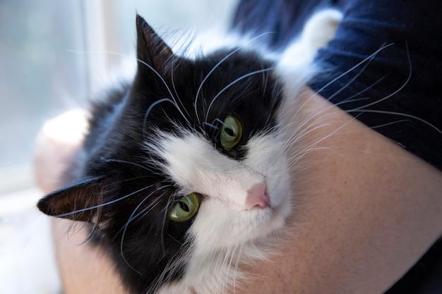 Un bellissimo gatto domestico di razza nelle mani del proprietario