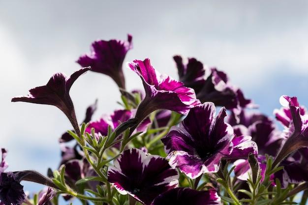 Bellissimi fiori viola in aiuole nella stagione primaverile i fiori si chiudono e crescono in un'aiuola nelle piante fiorite della città