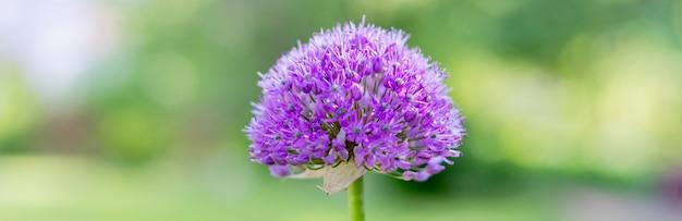 Bellissimi fiori viola della cipolla ornamentale, allium giganteum, cultivar globemaster.fiore di colore viola in un giardino botanico.il più grande allium flower.web banner