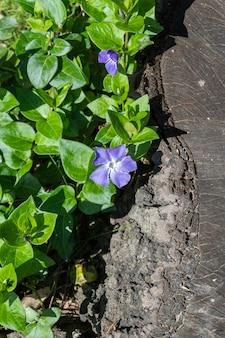 Bellissimi fiori viola di vinca su sfondo di foglie verdi vinca minor piccola pervinca piccola pervinca pervinca ordinaria accanto al tronco tagliato di un vecchio albero