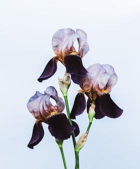 Bellissimi fiori di iris viola su uno sfondo azzurro da vicino