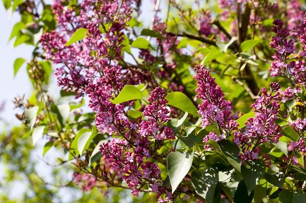 Bellissimi fiori lilla viola con fogliame verde, primavera del primo piano