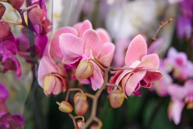 Bellissimo fiore viola dell'orchidea che fiorisce in una pentola