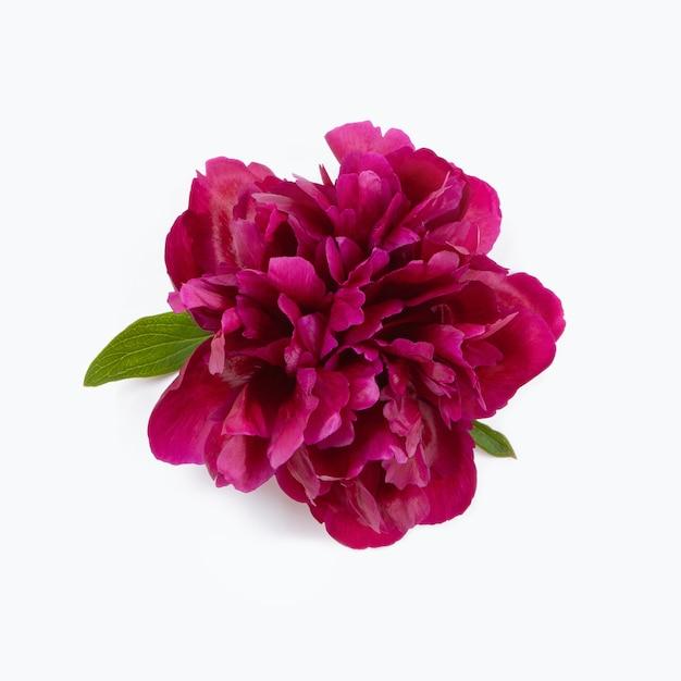 Bellissimo fiore di peonia viola con foglie verdi e ombra, isolato su sfondo bianco.