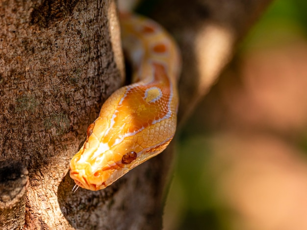 Bellissimo python molurus albina sul ramo di un albero.