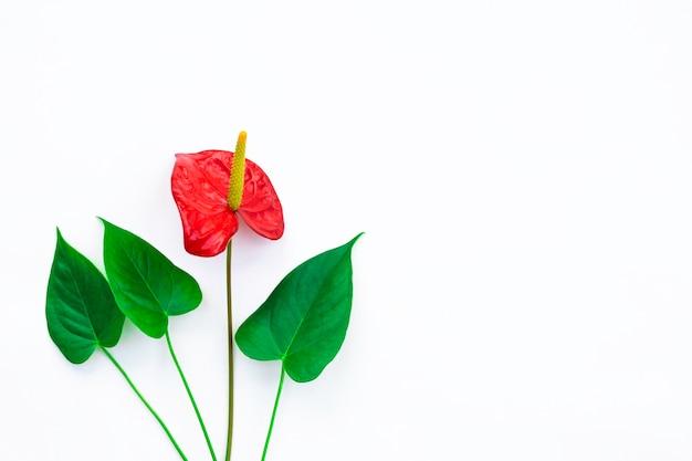 Bellissimo anthurium rosso con foglie verdi su sfondo bianco, minimalismo. posto per il testo.