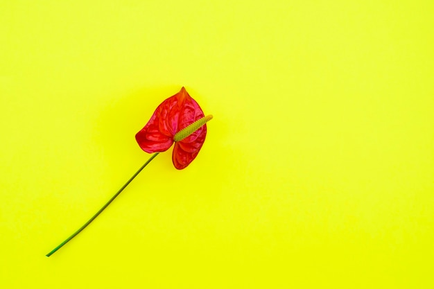 Bellissimo anthurium rosso su giallo