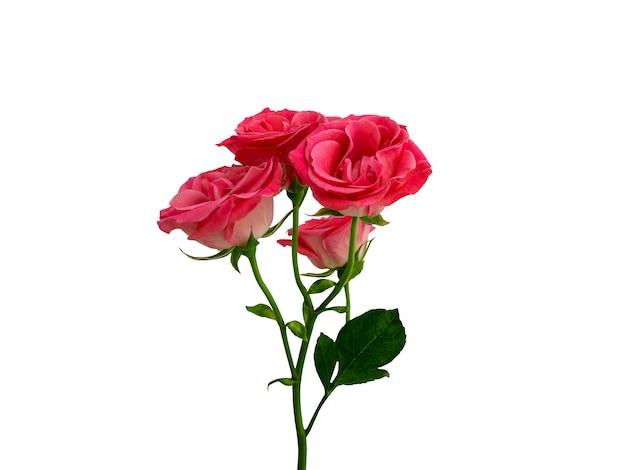 Bellissimo fiore di rosa cespuglio rosso su sfondo bianco vista laterale