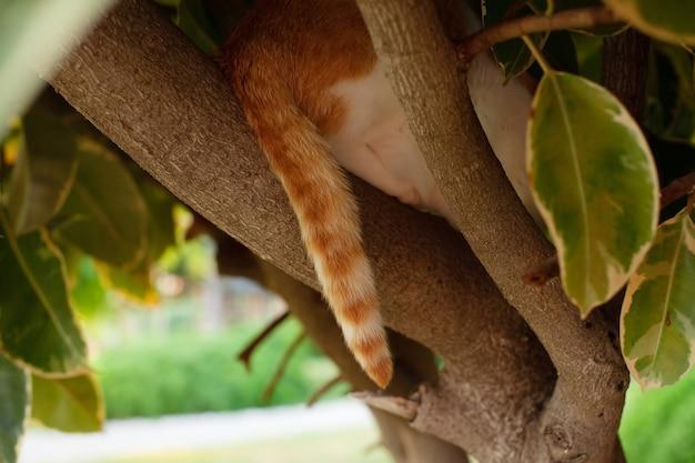 Un bel gatto rosso giace sui rami degli alberi, una coda a strisce pende tra le foglie