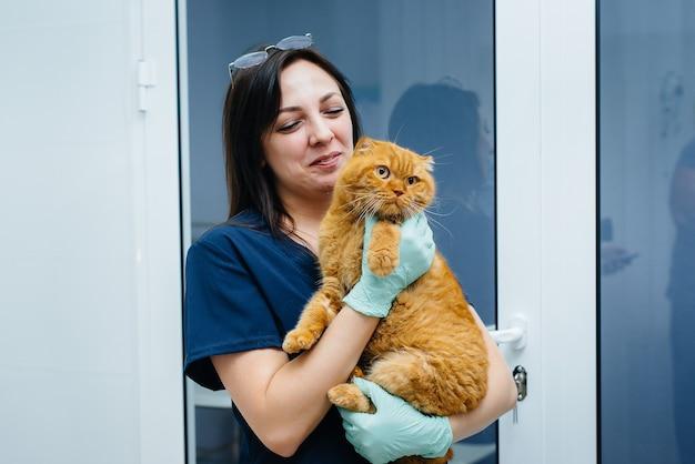 Un bellissimo gatto rosso si siede tra le braccia di un veterinario in una moderna clinica. medicina veterinaria.