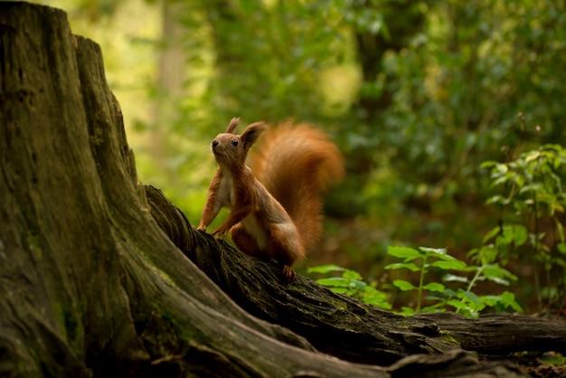 Bellissimo scoiattolo rosso lanuginoso che mangia una grossa noce nella foresta autunnale. ritratto di scoiattolo curioso