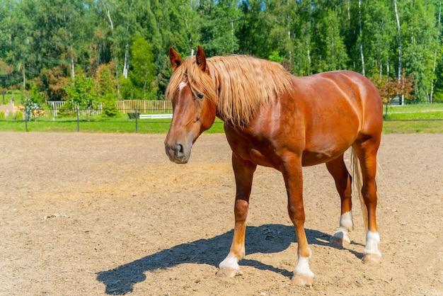 Un bel cavallo rosso. la criniera ondulata e folta di un cavallo.