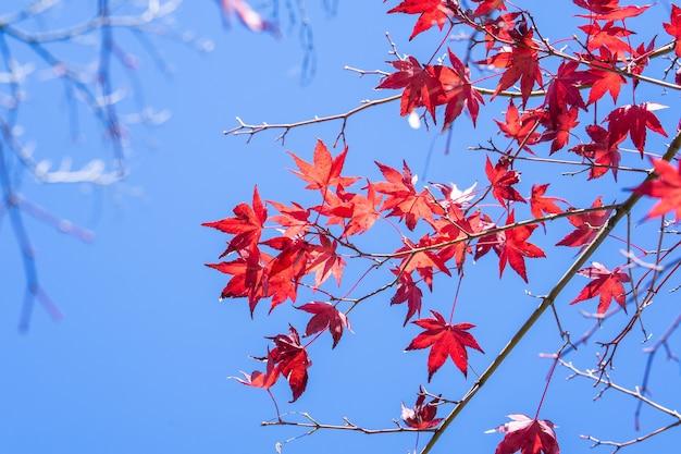 Bellissime foglie di acero rosse in una giornata di sole autunnale, cielo blu, primo piano, copia spazio, macro