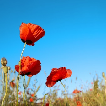 Bei papaveri rossi sui precedenti del cielo blu