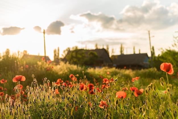 Bellissimi papaveri rossi in defocus su un bellissimo campo verde estivo. Foto Premium