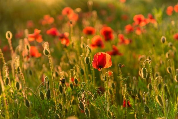 Bellissimi papaveri rossi in defocus su un bellissimo campo verde estivo.