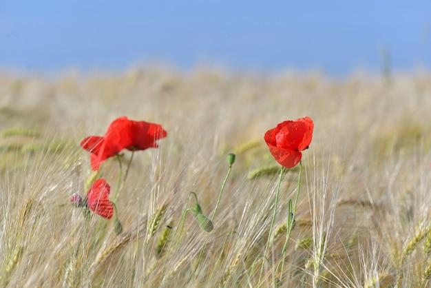 Bellissimi papaveri rossi fiori che sbocciano in un campo di cereali sotto il cielo blu