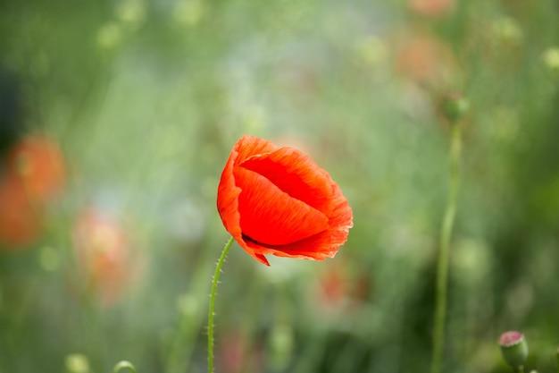Bellissimi papaveri rossi su un campo estivo. fiori di oppio, campo selvaggio. priorità bassa floreale di estate.