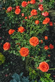 Bellissimo cespuglio di rose rosse in un giardino