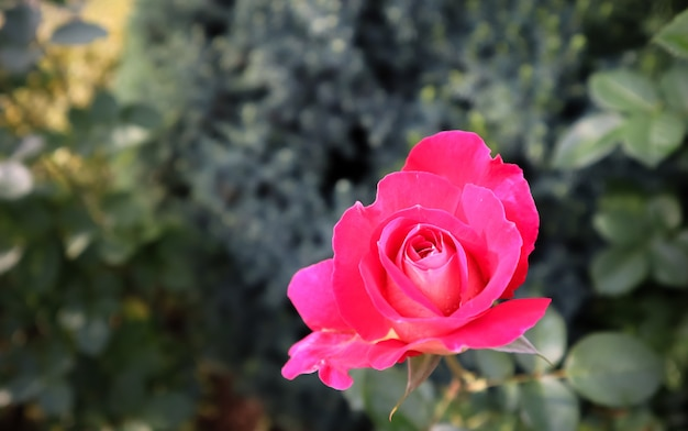 Bella rosa rossa in giardino perfetta per biglietto di auguri