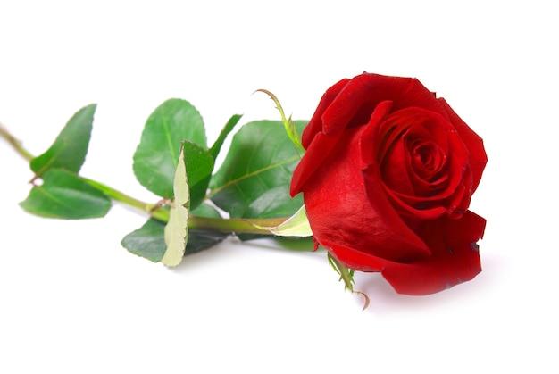 Bella rosa rossa isolato su sfondo bianco