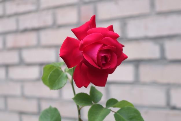 Bella rosa rossa su un mattone di pietra backround