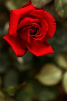 Bella rosa rossa con foglie sfocate