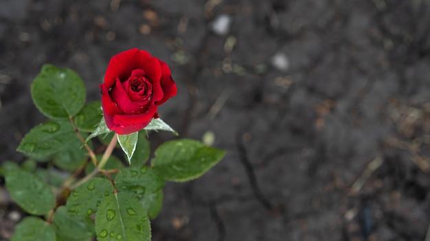 Bella rosa rossa con gocce dopo la pioggia in giardino.