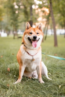 Bellissimo cane shiba inu rosso all'aperto