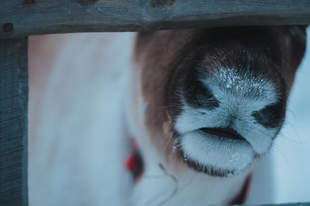 Bella renna nel parco etnico nomade