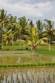 Bellissime risaie a bali, in indonesia.