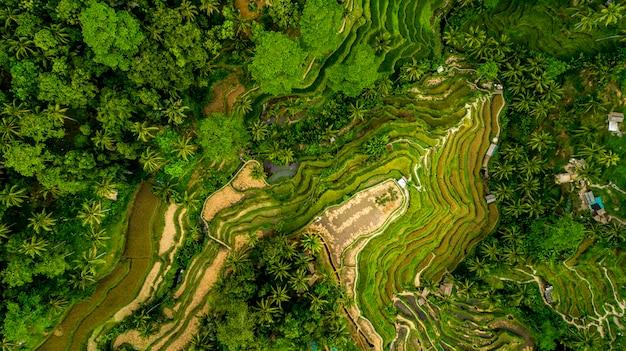 Belle terrazze di riso sulla veduta aerea dell'isola di bali