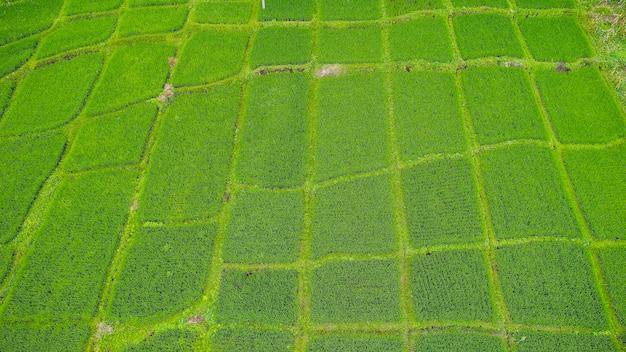 Bei terrazzi del riso all'indicatore luminoso di mattina vicino al villaggio di tegallalang, ubud, bali, indonesia.