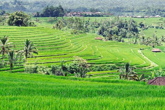 Belle terrazze di riso