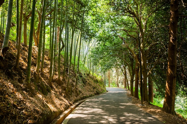 Bella strada tra enormi pini