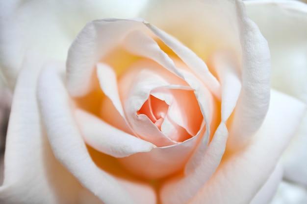 Bello primo piano del fiore di rosa