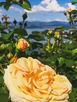 Bellissimo fiore rosa nelle montagne del lago giardino svizzero e nel cielo blu a wollerau su sfondo natura o...