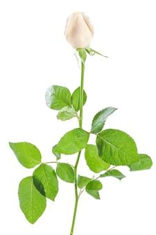 Bellissimi fiori di rosa isolati su sfondo bianco