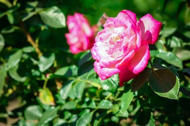 Bella rosa in un parco sullo sfondo della natura