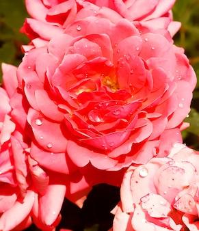 Belle rose in giardino