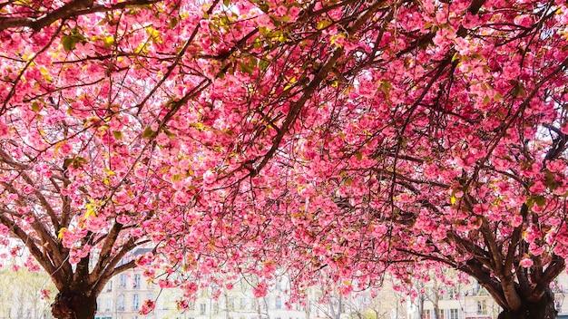 Bellissimi sakura o ciliegi con fiori rosa in primavera