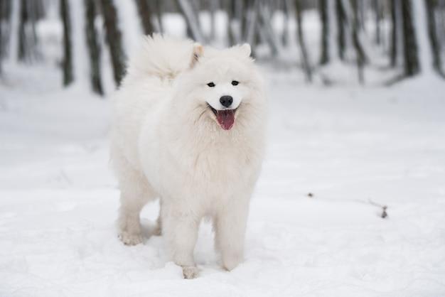 Bellissimo cane bianco samoiedo è seduto nella foresta invernale, carnikova nel baltico