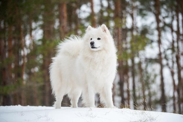Bellissimo cane bianco samoiedo è seduto nella foresta invernale