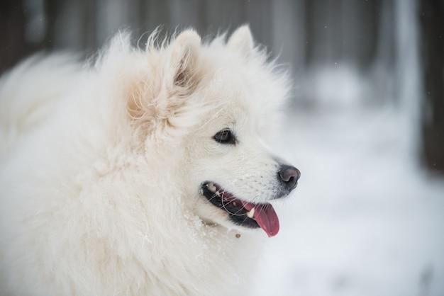 Il bello primo piano del ritratto del cane bianco di samoiedo è nella foresta di inverno
