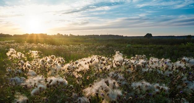 Bella vista panoramica del campo infinito con boccioli di fiordalisi ricoperti di cotone idrofilo bianco