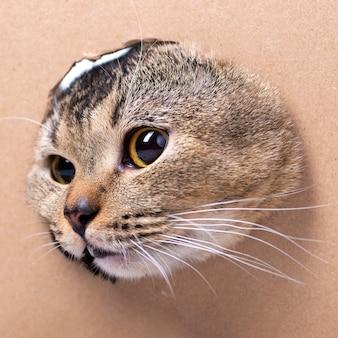 Un bellissimo gatto scottish fold guarda in una scatola di cartone ritagliata, primo piano