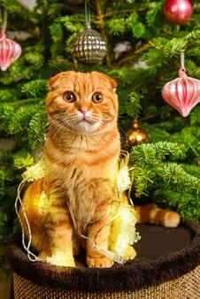 Il bellissimo gatto rosso scottish fold è seduto vicino all'albero di natale alla luce