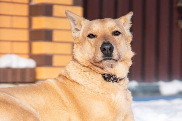 Bellissimo cane serio sdraiato a terra sulla neve vicino al recinto della casa di campagna del proprietario. grande cane da guardia orgoglioso