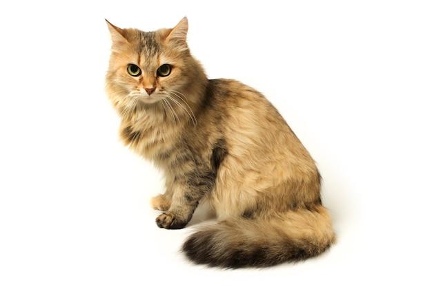 Bellissimo gatto peloso seduto isolato su bianco